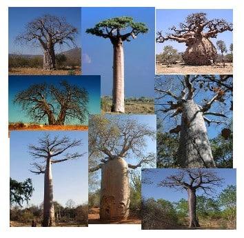 Les Baobabs.