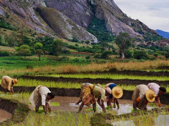 Rice transplanting in Ambalavao